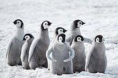 Emperor penguins (Aptenodytes forsteri), a group of chicks on the ice, Snow Hill Island, Weddell Sea, Antarctica