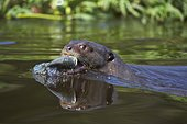Giant otter (Pteronura brasiliensis) with captured fish and water reflection in the Rio Cuiaba, Mato Grosso do Sul, Pantanal, Brazil, South America