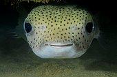 Spot-fin porcupinefish, Porcupine fish, Spotted porcupinefish, black-spotted porcupinefish or simply porcupinefish (Diodon hystrix), Indian Ocean, Hikkaduwa, Sri Lanka, Asia