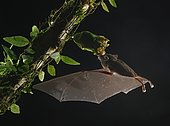 Pallas's long-tongued bat (Glossophaga soricina), approaching a flower at night, eats Nectar, Costa Rica, Central America