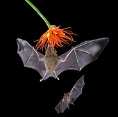 Pallas's long-tongued bats (Glossophaga soricina), approaching a flower at night, eats Nectar, Costa Rica, Central America