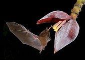 Pallas's long-tongued bat (Glossophaga soricina), approaching a banana blossom at night, eats Nectar, Costa Rica, Central America