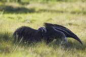 Giant anteater (Myrmecophaga tridactyla) with cub on its back in the prairie at Barranco Alto, Mato Grosso, Pantanal, Brazil, South America