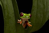 Red-eyed Tree Frog (Agalychnis callidryas), Puntarenas province, Costa Rica, Central America