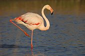 Greater flamingo (Phoenicopterus roseus) standing in shallow water, Camargue, Provence, France, Europe