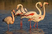 Greater flamingos (Phoenicopterus roseus) small group standing in shallow water, Camargue, Provence, France, Europe