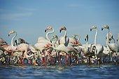 Swarm of Greater flamingos (Phoenicopterus roseus) in water, Saintes-Maries-de-la-Mer, Parc Naturel Regional de Camargue, Camargue, France, Europe