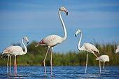Greater Flamingos (Phoenicopterus roseus) in water, Parc Naturel Regional de Camargue, France, Europe