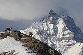 Chamois des Alpes (Rupicapra rupicapra) dans les Alpes vaudoises, Suisse.
