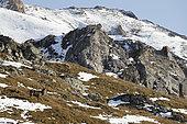 Red deer (Cervus elaphus) male in the Valais Alps, Switzerland.