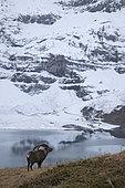 Ibex (Capra ibex) mâle near a lake, Valais Alps, Switzerland.