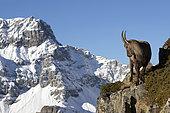 Ibex (Capra ibex) female on rock, Valais Alps, Switzerland.