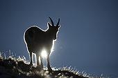 Ibex (Capra ibex) female against the light, Valais Alps, Switzerland.