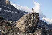Perdrix bartavelle (Alectoris graeca) sur rocher, canton de Vaud, alpes suisse.