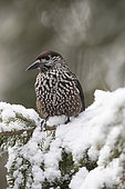 Spotted Nutcracker (Nucifraga caryocatactes) on a branch, in the Alps, canton Valais, Switzerland.
