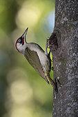 Green Woodpecker (Picus viridis) male at the nest. Canton of Vaud. Switzerland