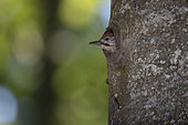 Green Woodpecker (Picus viridis) young at the nest with young. Canton of Vaud. Switzerland