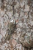 Common Treecreeper (Certhia familiaris) on a tree trunk in the Alps, Canton Valais, Switzerland.