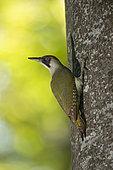 Green Woodpecker (Picus viridis) female at the nest. Canton of Vaud. Switzerland