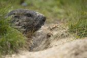 Alpine marmot (Marmota marmota) at the exit of the burrow in the Ticino Alps, Switzerland.