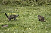 Alpine marmot (Marmota marmota) facing in the Ticino Alps, Switzerland.