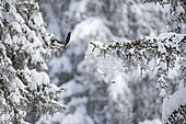 Red squirrel (Sciurus vulgaris) jumping from a snow-covered branch, in the Alps, canton of Valais, Switzerland.