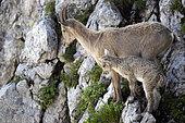 Alpine Ibex (Capra ibex), female and her young, Valais, Switzerland