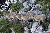 Alpine Ibex (Capra ibex), youngs on rock, Valais, Switzerland