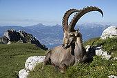Bouquetin des Alpes (Capra ibex), mâle au repos, Valais, Suisse.