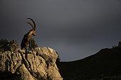 Alpine ibex (Capra ibex), male on rock, Valais, Switzerland.