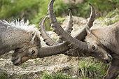 Alpine ibex (Capra ibex), males fighting, Valais, Switzerland.
