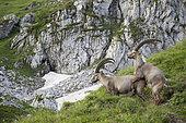 Alpine ibex (Capra ibex), males mating, Valais, Switzerland.