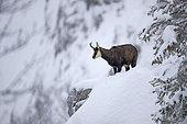 Chamois des Alpes (Rupicapra rupicapra) dans la neige, Jura vaudois, Suisse