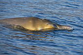 Blainville's beaked whale (Mesoplodon densirostris). Punta Rasca, southwest area of the island of Tenerife. The presence of yellow patches, caused by the presence of microalgae, is common on both sides of the head and on the dorsal fin. They only have two teeth (fangs), but they can only be seen in adult males, protruding from the jaw on both sides (in this case it is a female and they do not appear). Cetaceans of the Canary Islands.