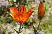 Orange Lily (Lilium bulbiferum), North Rhine-Westphalia, Germany, Europe