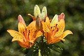 Flowering Fire Lily (Lilium bulbiferum)
