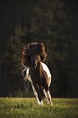 Icelandic horse (Equus islandicus), Cheek galloping over meadow, Germany, Europe