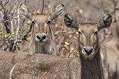 Waterbuck (Kobus ellipsiprymnus), Kruger National Park, Republic of South Africa