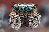 Close-up of a Jumping spider (Salticidae) with their big characteristic main eyes