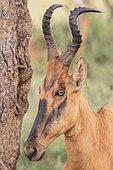 Lelwel Hartebeest (Alcelaphus buselaphus lelwel), Murchinson Falls National Park, Uganda, Africa