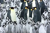 Emperor penguins (Aptenodytes forsteri), penguin colony, adult animals with young animals densely packed at the nesting site, Antarctica