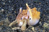 True conch (Strombus dilatatus) foraging in the sand, Witu Islands, Papua New Guinea, Oceania