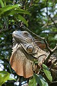 Green iguana (Iguana Iguana), on a branch in a tree, animal portrait, Costa Rica, Central America