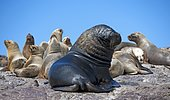 South American sea lions (Otaria flavescens), bull with females, Deseado, Patagonia, Argentina, South America