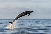 False killer whale (Pseudorca crassidens). Tenerife, Canary Islands.