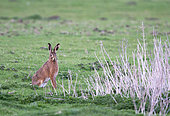 Brown hare (Lepus europaeus) sitting in a meadow, England