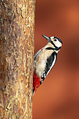 Great spotted woodpecker (Dendrocopos major) perched on a pine tree, England