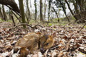 Muntjack deer (Muntiacus reevesi) laying in woodland, England
