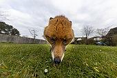 red fox (Vulpes vulpes) feeding in a garden, England