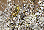 Yellowhammer (Emberiza citrinella) perched amongst blackthorn flower, England